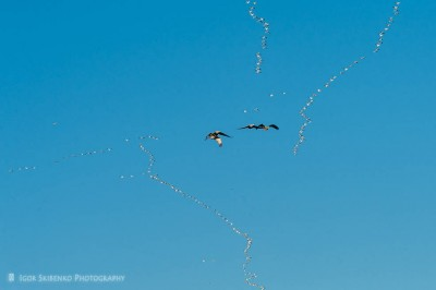 Birds of Bosque del Apache