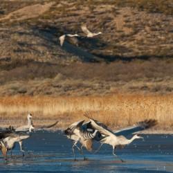 Birds of Bosque del Apache