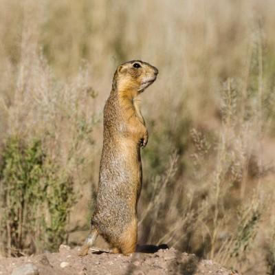 Prairie Dogs Life