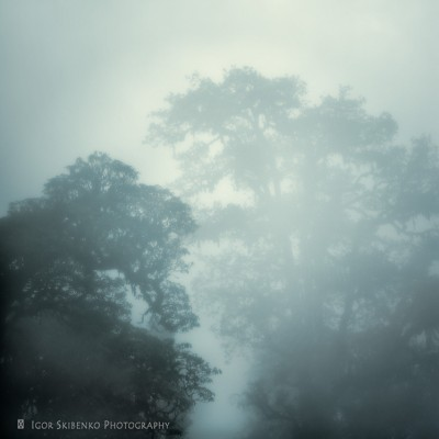 Foggy Rhododendrons